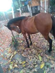 Vendo égua linda de verdade é boa de cela testada e quente.
