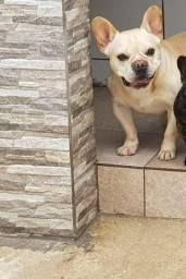 Lindo Macho Adulto de Bulldogue Francês