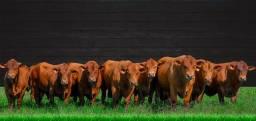 [[4]Em 10 parcelas, Senepol PO - venda direta na fazenda (Matrizes prenhas) -