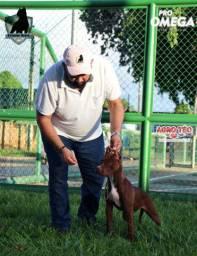 Filhote pitbull Terrier