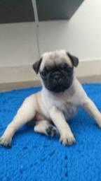Pug fêmea abricot - 1 mês de vida