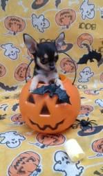 Chihuahua - raça pura com pedigree cbkc
