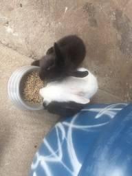 Coelho 4 mês um é mini