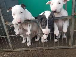 Bull terrier com pedigree