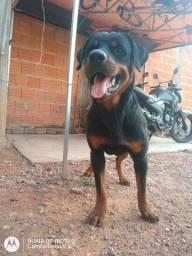 Rottweiler macho disponível para cruzar