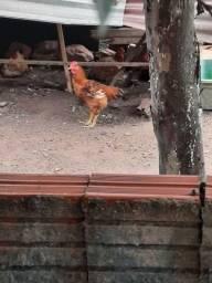 Vendo galinha pesadão