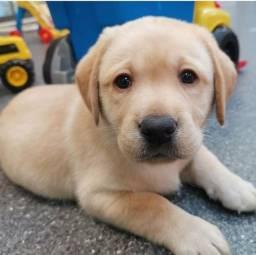 Labrador - Filhotes Lindos e Saudáveis