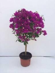 Muda  de buganville,  buque de noiva  flores
