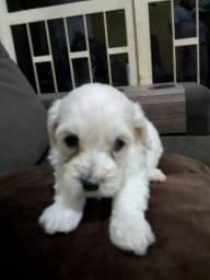 Filhote Poodle Toy