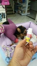 Yorkshire Terrier pequenininha