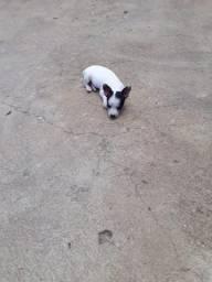 Cachorro pinscher zero médio