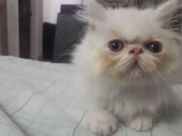 Gato persa fucinho zero