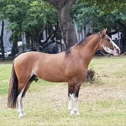 Venda de Cobertura Cavalo Crioulo