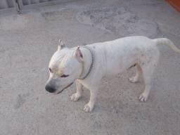 Doa-se Pitbull starforshire  terrier.