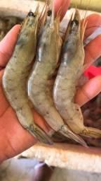 CAMARÃO G 15 gramas