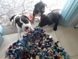Filhotes de pitbull misturado