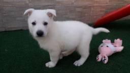 Lindos filhotes de Pastor Branco Suíço. Com pedigree e recibo e garantia de saúde