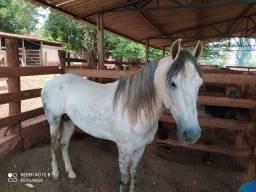Vendo o cavalo e cobertura Mangalarga Machador