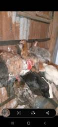 Plantel de galinhas
