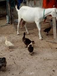 Cabra leiteira saane  em dias de parir 1300