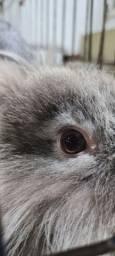 Coelho lion head filhote