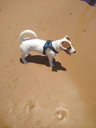 Jack Russel terrier macho procura namorada