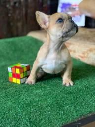 Mini Bulldog Frances Fêmea Merle Fawn