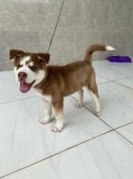 Husky Siberiano com 2 meses 1.300