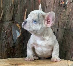 Mini Bulldog Frances  Lilac Isabella Merle
