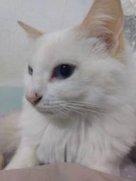 Adoção Gato. raciado lindo.