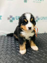 Filhotes Bernese Mountain Dog