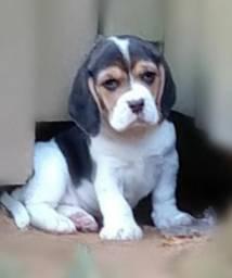 Beagle para reserva ( Ninhadas nascendo em setembro)
