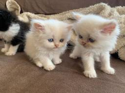 Filhotes persas