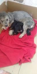 Filhote de poodle n 1 puro só 2 machos promoção só hoje