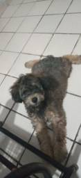 Cachorro fêmea poodle