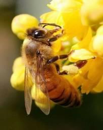 Compro colméias de abelhas africanizadas