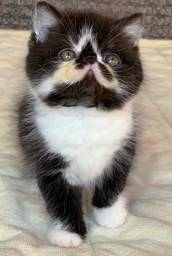 Um Show Gato Persa de macho bicolor Exotico pelo curto extremado com 65 dias Super lindo
