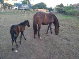 Égua cm filhote potra dois meses