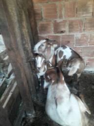 Vendo uma cabra com duas canarinha