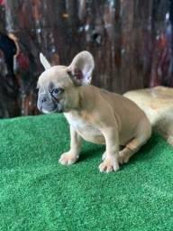 Título do anúncio: Mini Bulldog Frances Fêmea Blue Fawn cinza