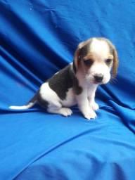 Beagle ligue para adquirir conosco * Alexandre