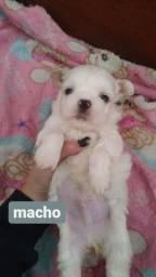Filhote macho - Shih Tzu