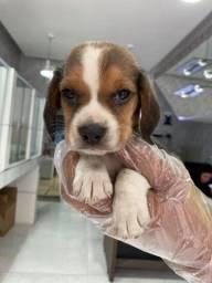 Beagle - Filhotes Lindos e Saudáveis !!!!