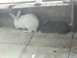 Compre o casal de coelhos e leve um brinde