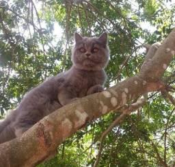 Procuro namorado, sou uma gata da raça persa