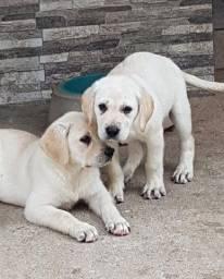 Filhotinhos de Labrador