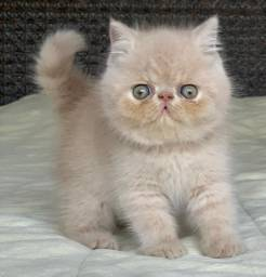 Show de Gato Persa macho Creme Exotico pelo curto extremado com 65 dias super lindo