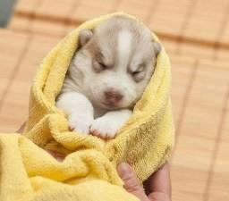 Filhote de Husky com pedigree