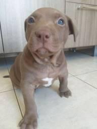 Filhote de pitbull macho disponível