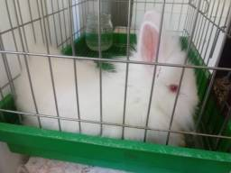 Mine coelha